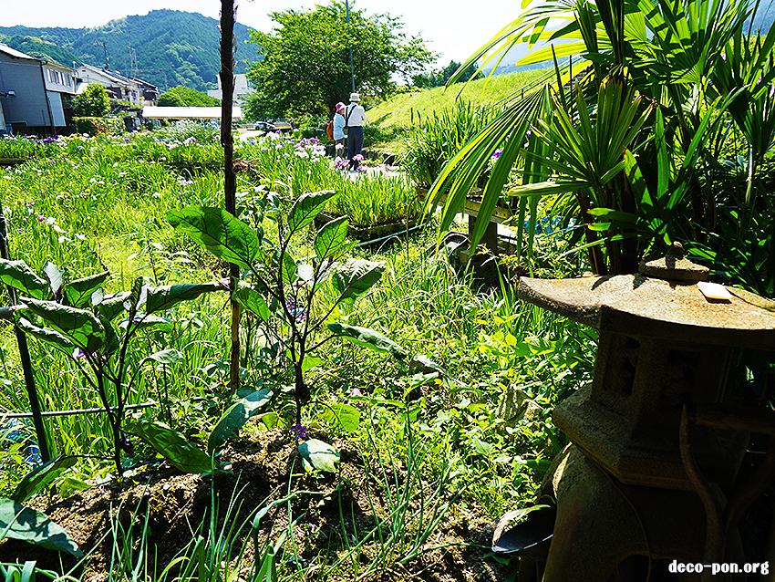 新谷花菖蒲園 (大洲 しょうぶ城)